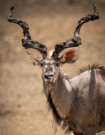 Kudu-Troph