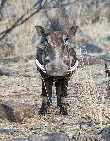 Wartthog-in-Namibia