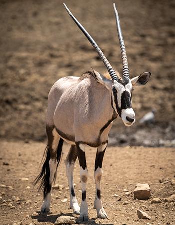 Oryx-Antelope-Namibia